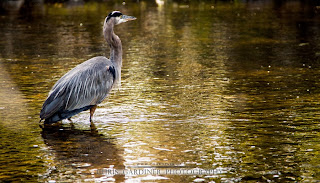 Great Blue Heron in the wild, photographed by Chris Gardiner wildlife photographer in Kelowna, BC.