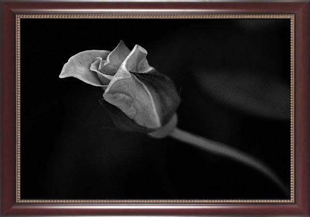 rose bud, monochrome,dark