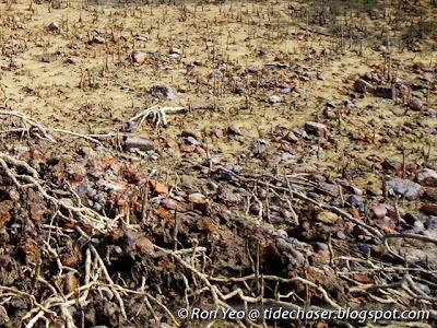 Api-api Ludat (Avicennia officinalis)