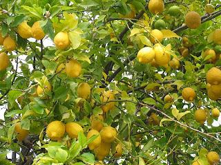 Alimentos sanos el poder del lim n for Lista de arboles frutales de hoja perenne