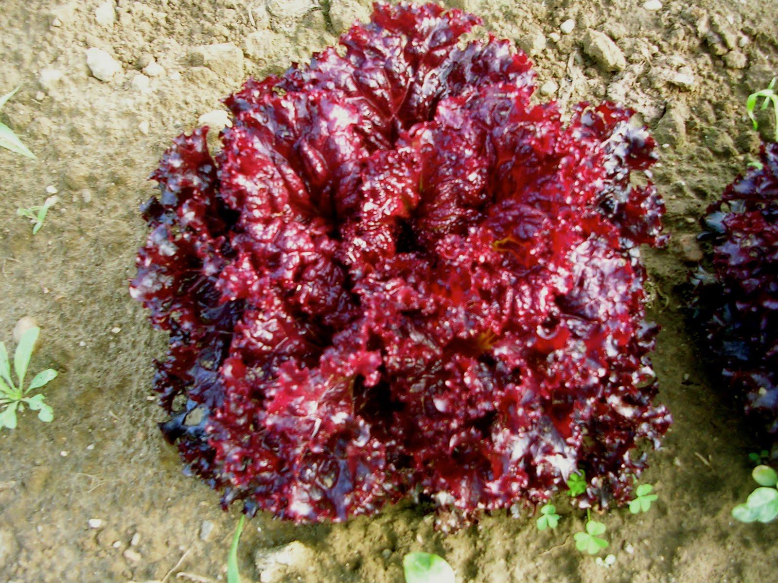 cara menanam selada tanamanbaru