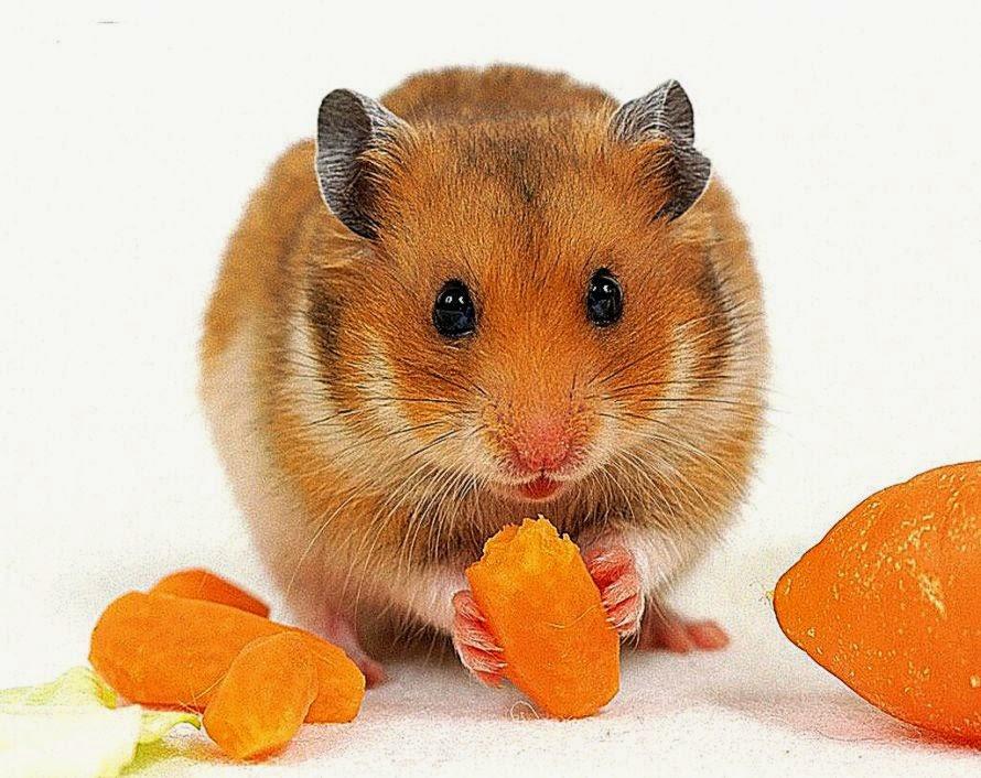 foto hamster lucu - gambar hewan - foto hamster lucu