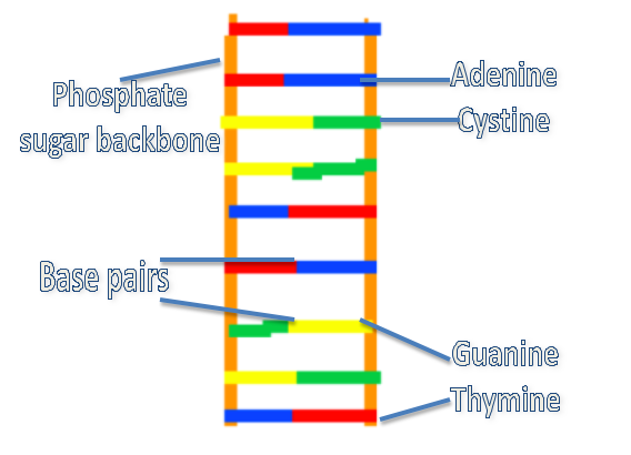 Dna Structure Model Labeled