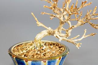 ニオイカエデ-M1(匂い楓 豆盆栽)Premna japonica bonsai