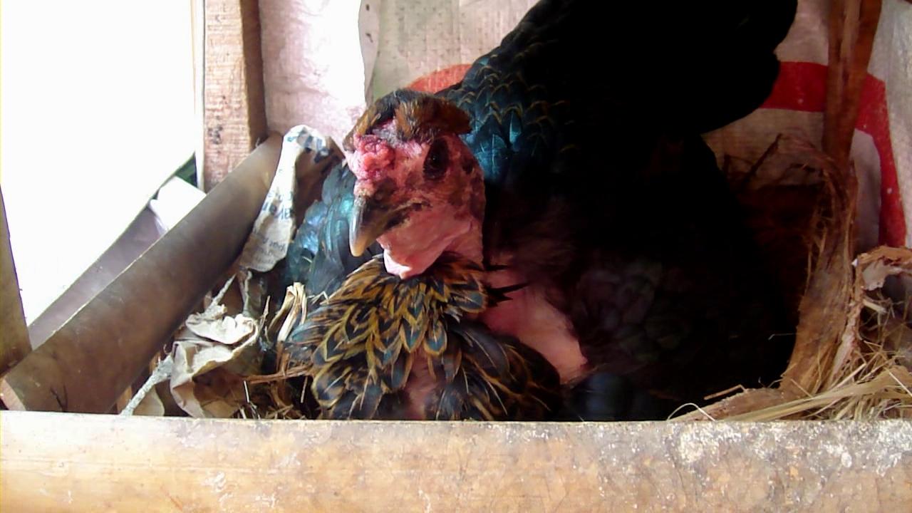 Si Gombak Indukan Babon Ayam Bangkok ROOSTER Ayam