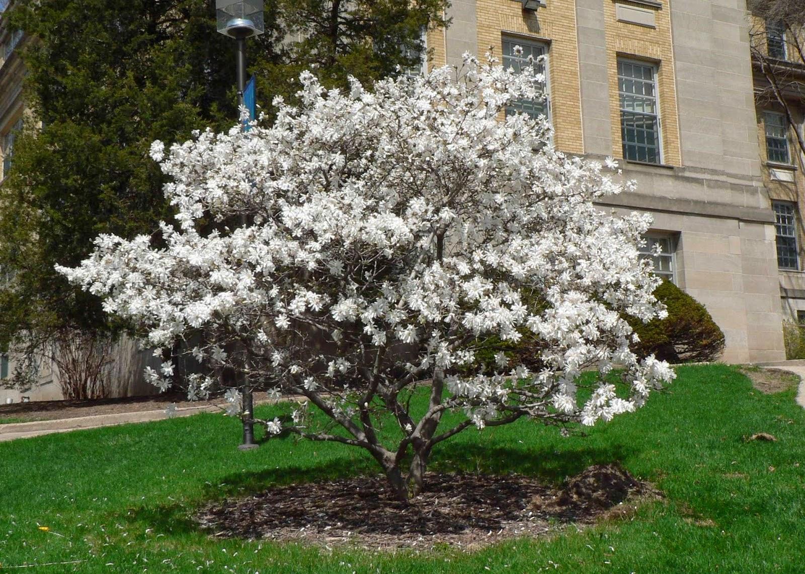 Arte y jardiner a arboles para jardines peque os 2 parte for Arboles para jardines pequenos
