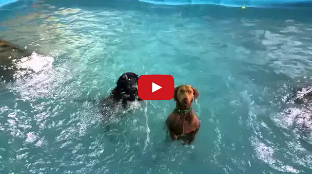 tastefully offensive dog who 39 s bad at swimming realizes he can stand up in pool