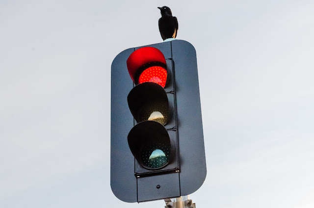 australian raven standing on traffic light
