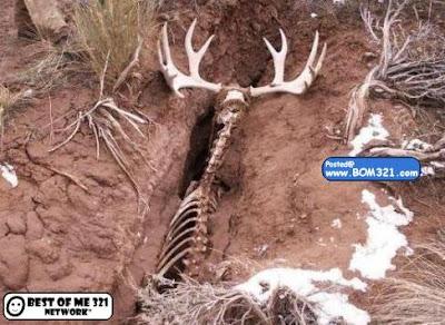 Rusa Mati Tersepit  deer stuck!
