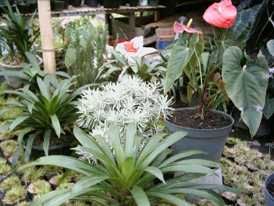 10 tanaman hias yang bekerja sebagai pembersih udara dalam ruangan