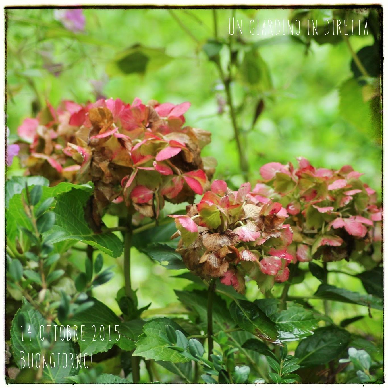 Come seccare i fiori di ortensia hydrangea macrophilla - Fiori di giardino ...