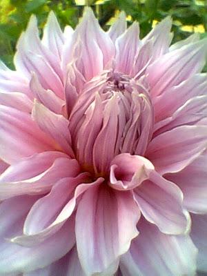 Dhalia: slightly pink, looks more beautiful