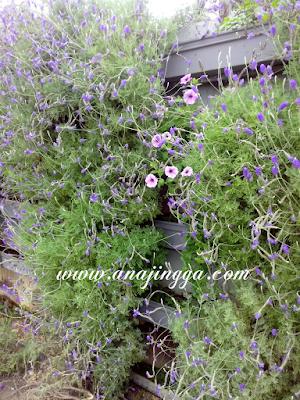 lavender genting highland