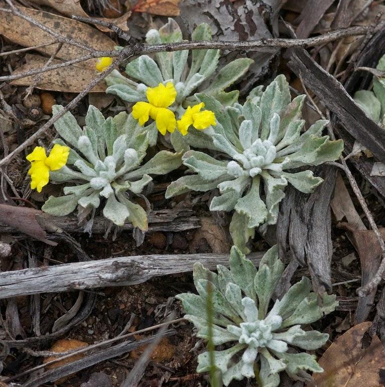 Silver Goodenia (Goodenia affinis)