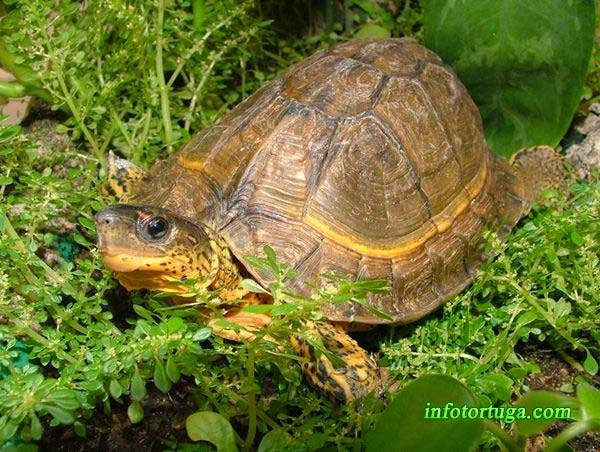 Rhinoclemmys areolata - Tortuga rugosa de bosque
