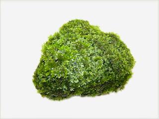 gambar-batu-Riccardia-Chamedryfolia-mini-pelia-tanaman-moss-aquascape
