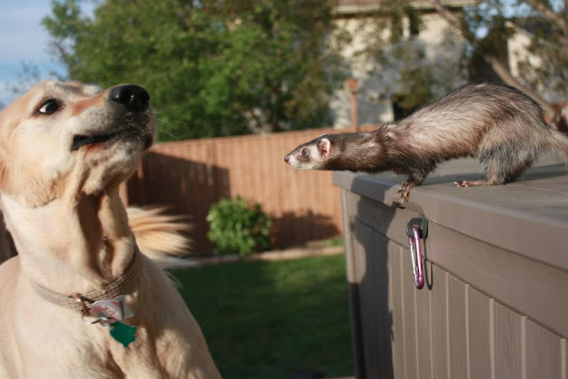 funny animals, animal pictures, dog meets ferret