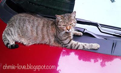 kot na samochodzie