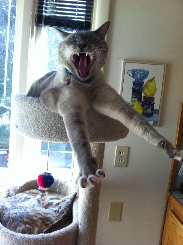 funny cat pictures, yawning cat