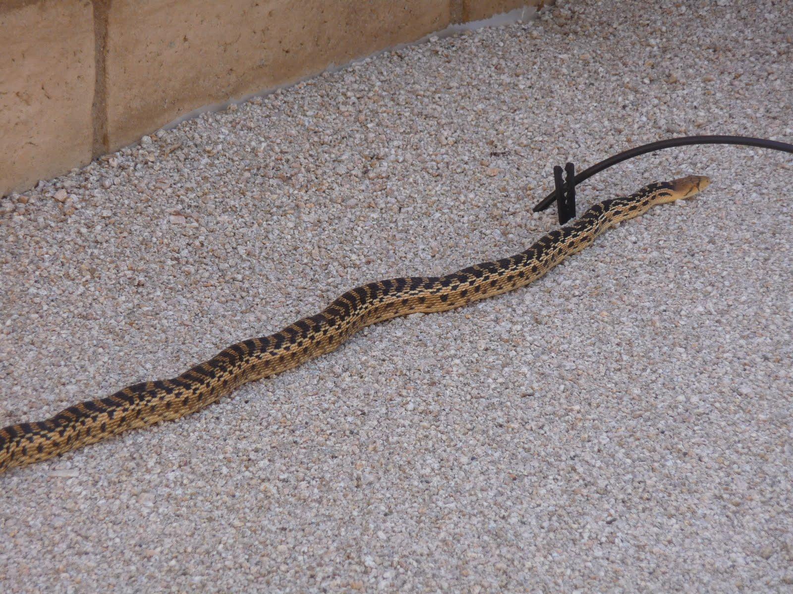 hikeminded snake in the back yard