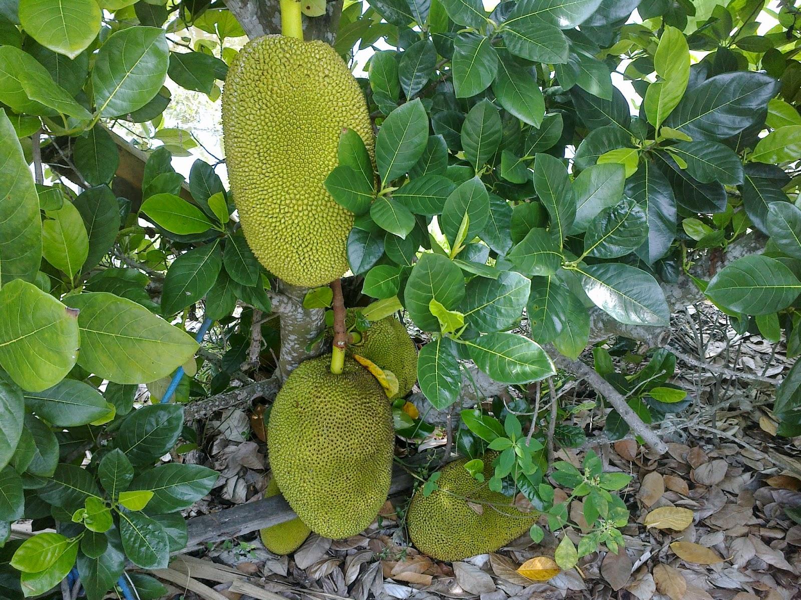 buah nangka madu