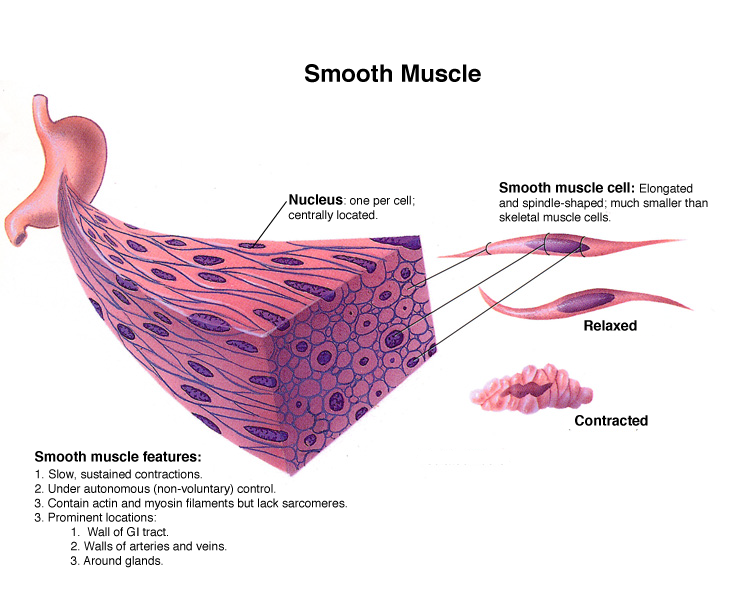 structure of smooth muscle, Muscles