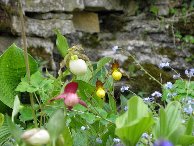 Les Sabots de Vénus au jardin