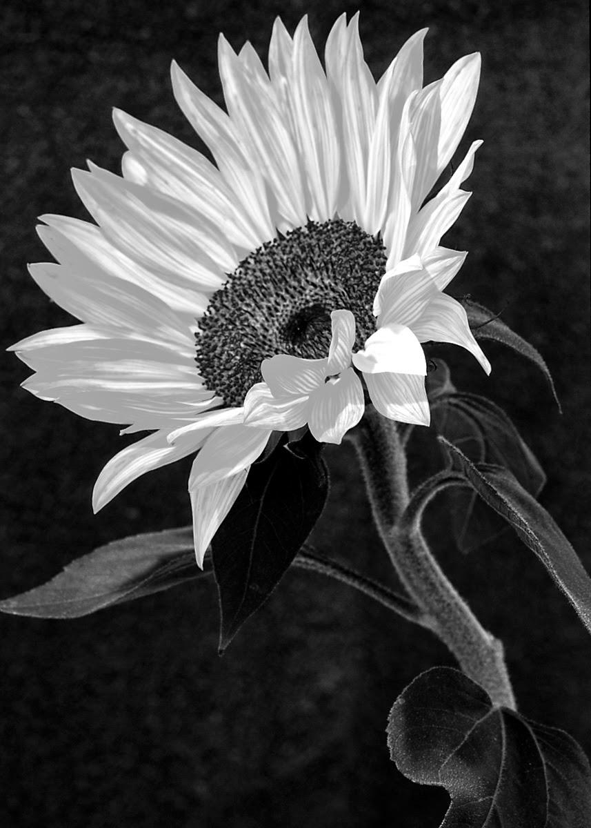 Lukisan Bunga Mawar Hitam Putih Images Gambartopcom