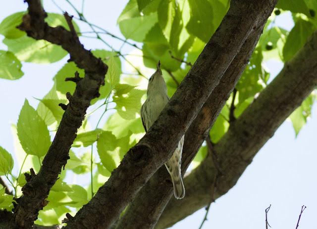 Black and White Warbler - Central Park, New York