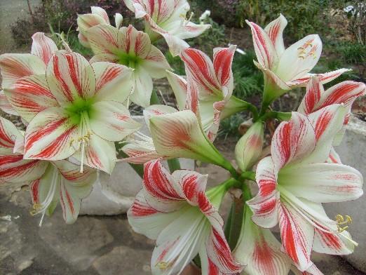 Ma plan te jardin bouquet d 39 amaryllis for Amaryllis jardin