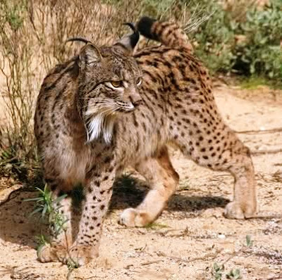 Lynx pardinus (Lince ibérico)