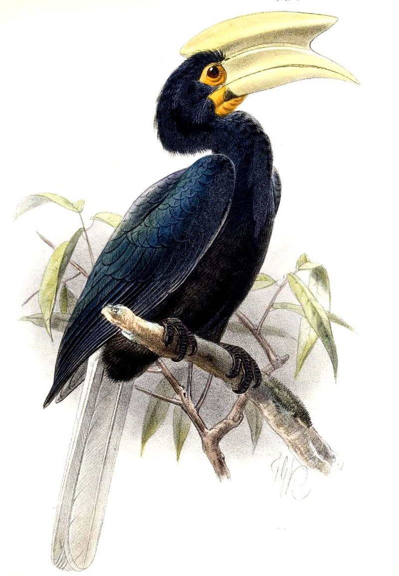 Palawan Hornbill - female hornbill depends on the male to return daily to feed her and the chicks.