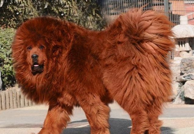 Pet Care: World's Most Expensive Dog - Tibetan mastiff