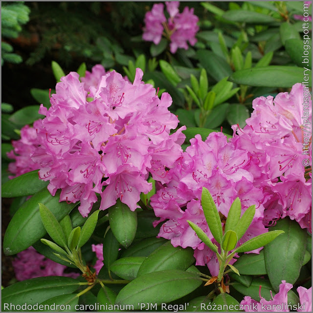 Rhododendron carolinianum 'PJM Regal' flowers - Różanecznik karoliński  'PJM Regal' kwiaty