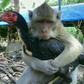 [prilaku monyet]