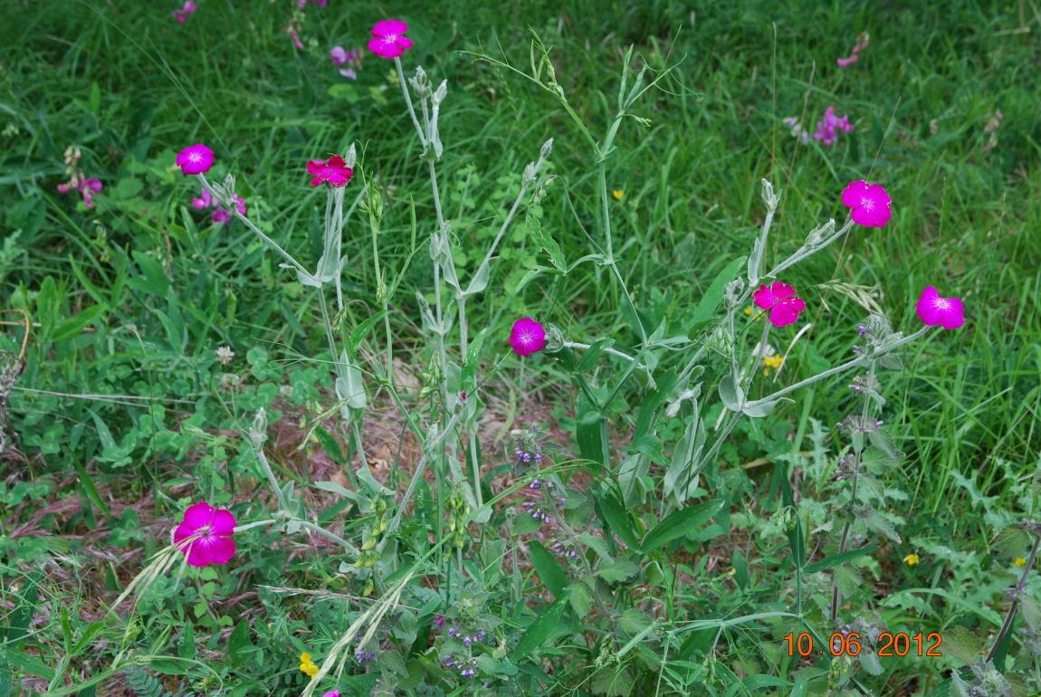 Lesdanjean st martin de castillon viens 10 juin 2012 - Coquelourde des jardins lychnis coronaria ...