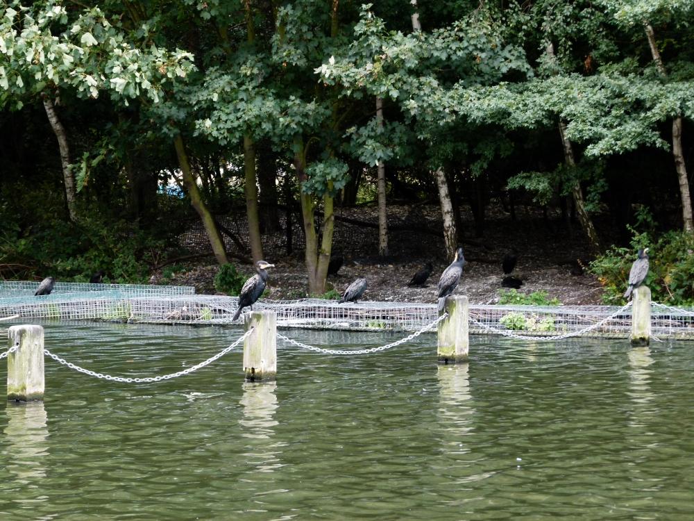 Kensington gardens and hyde park birds for Kensington park