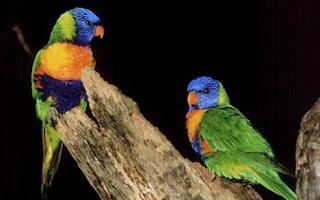 Lorito arco iris