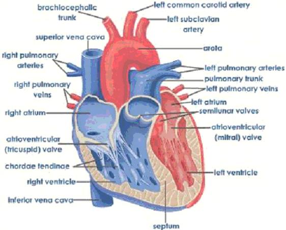 Fungsi Kerja Jantung Manusia