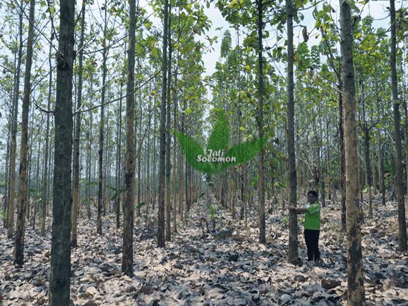 Pohon_Jati_Solomon_Umur_4_tahun_Semarang