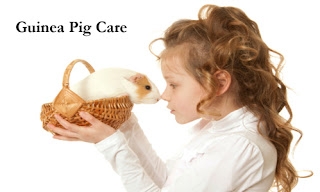 Handling and Caring of Guinea Pigs