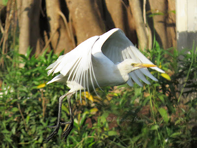 Egret flying in a garden