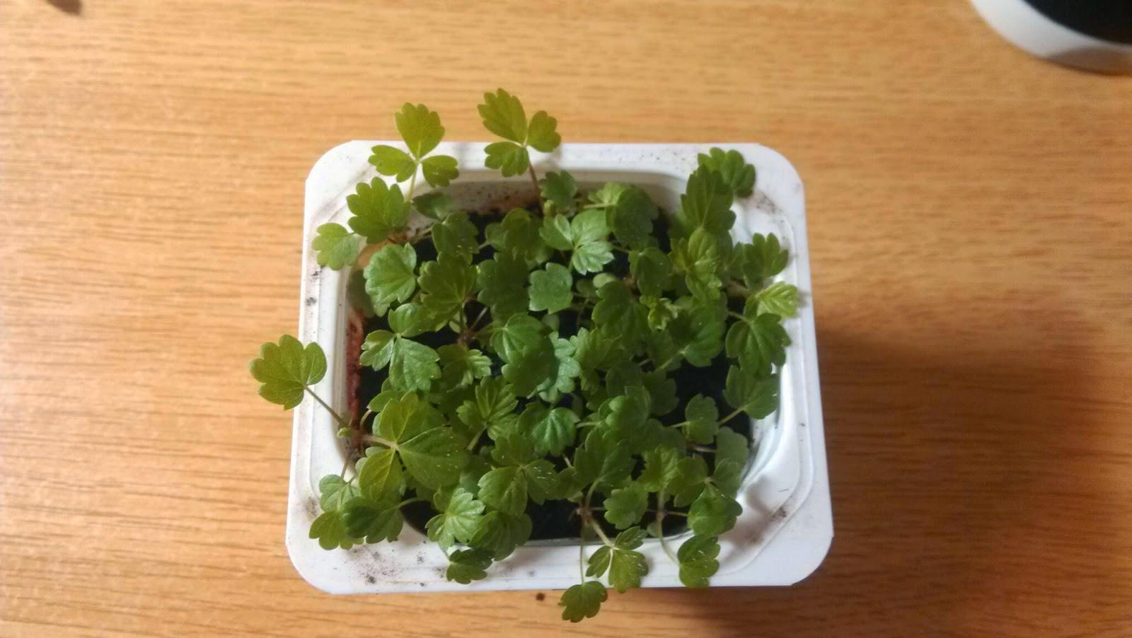 cultivo fresas frutilla strawberry seed semilla como cultivar maceta