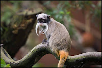 Emperor Tamarin Photos and Pictures 17
