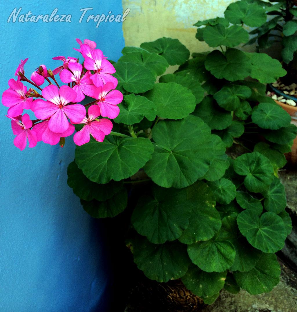 naturaleza tropical manual para el cultivo de geranios en