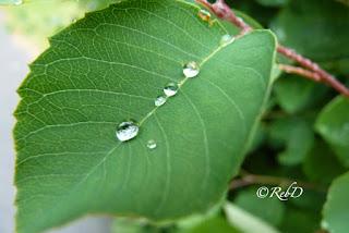 Blad med regndroppar i rad. foto: Reb Dutius