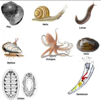 Pengertian, Ciri, Klasifikasi Filum Mollusca