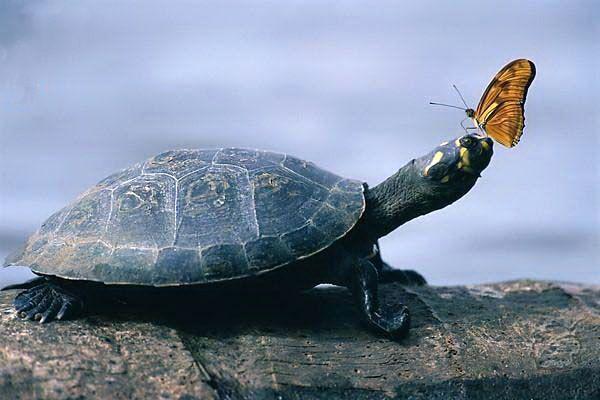 Skildpadde og sommerfugl mødes