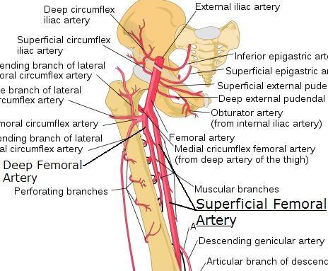 superficial_femoral_artery, Cephalic Vein