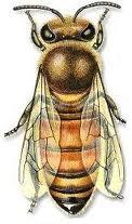 ذكر النحل